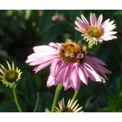 Bitelės žiede